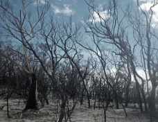 Burnt trees, Frazer Island, Australia. Copyright Lucy Munday.