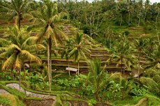 Rice Terraces at Ubud, central Bali. Lucy Munday